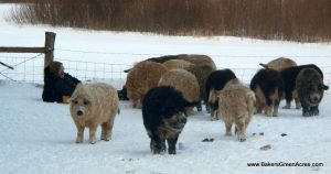 Mangalitsa pigs in winter.
