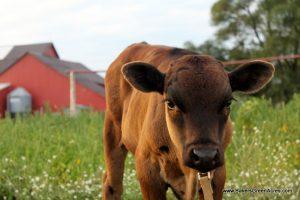 Diary Herd Share- Michigan