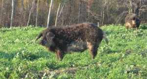 Purebred Swallow belly Mangalitsa: striped as a baby, grizzled muzzle, floppy ears, curly tail, shoulder height, tail length, has a skull morphology, dark coloration, black bristle tip coloration. Feral?