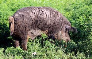 Mangalitsa breeding stock boar
