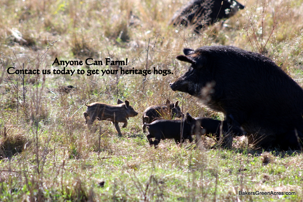 Pasture raised heritage breed Mangalitsa pigs: sow and piglets