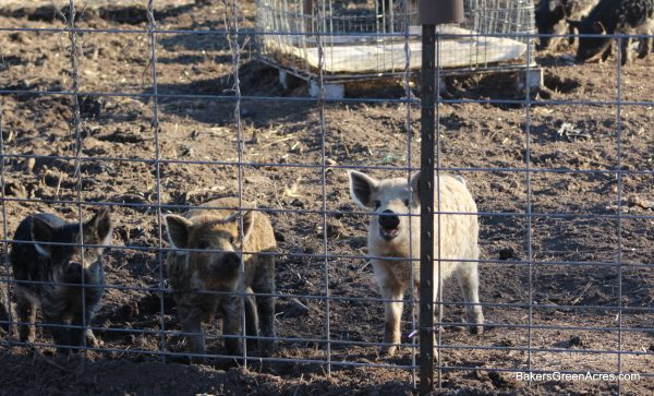 fences keep pigs in! anyone can farm, bakers green acres how to