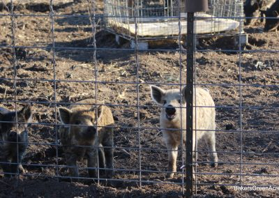 Heritage breed Mangalitsa weaner and feeder pigs