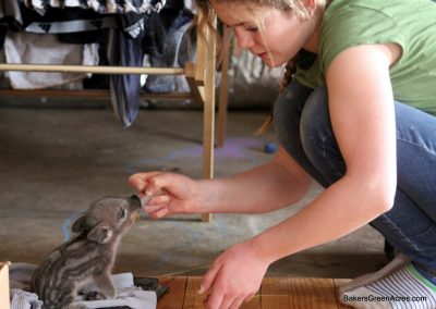 Rachel caring for a Mangalitsa weaner piglet.