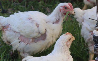 It's CSA chicken season (Almost)!