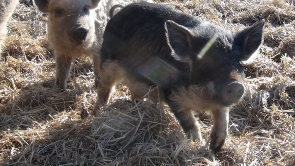 castrate your piglet. mangalitsa pigs