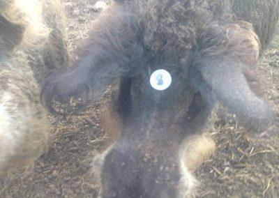 Homegrown Pasture Raised Mangalitsa hog