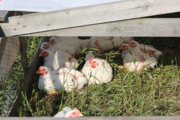 CSA organic pasture raised GMO free chickens