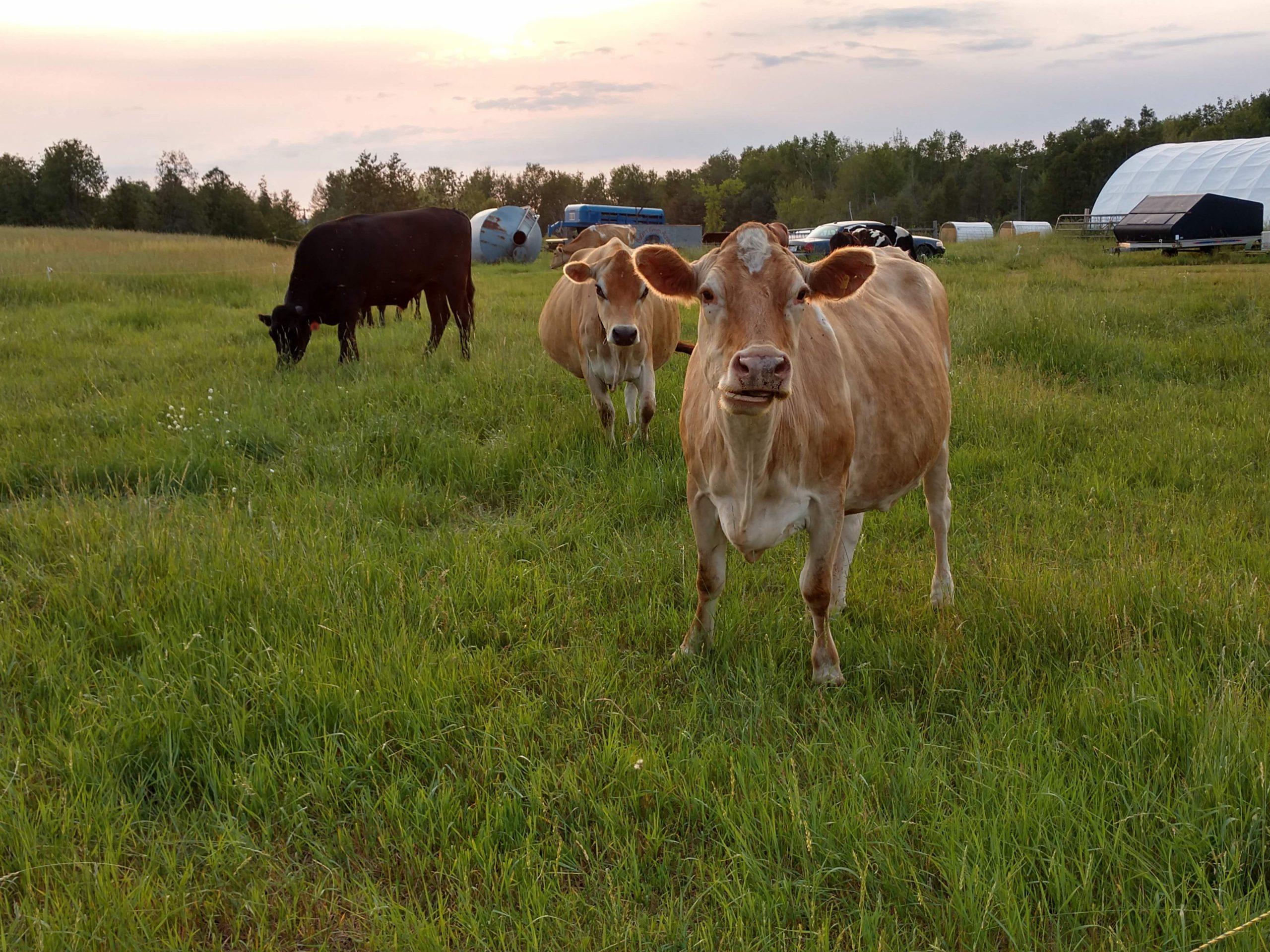 raw milk grass fed dairy jersey cow