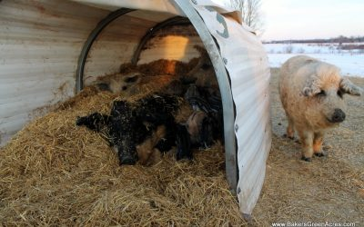 A Little Pig Tale: Lessons from the homestead