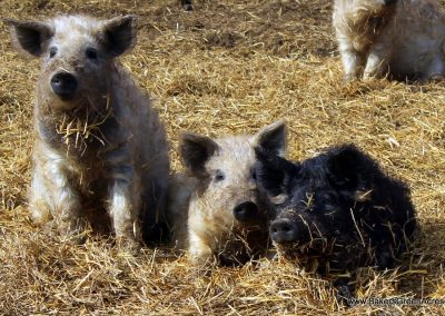 heritage breed, GMO free Mangalitsa weaner and feeder pigs