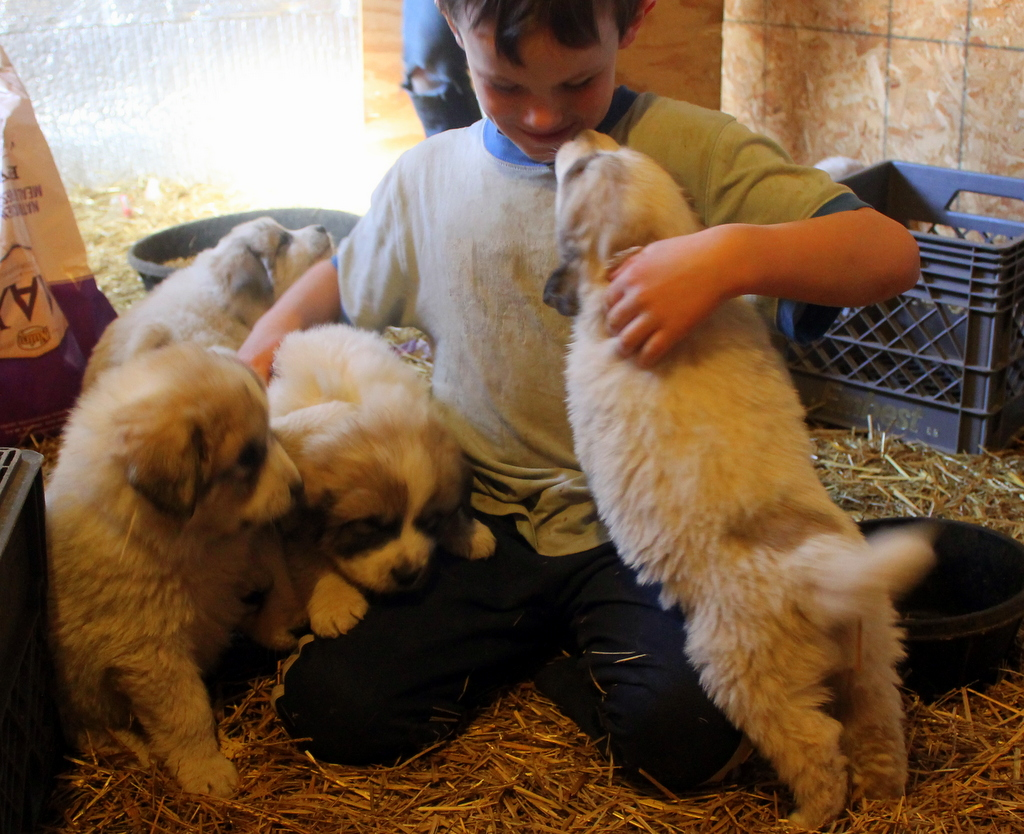 Jim playing with the Great Pyranees puppies.