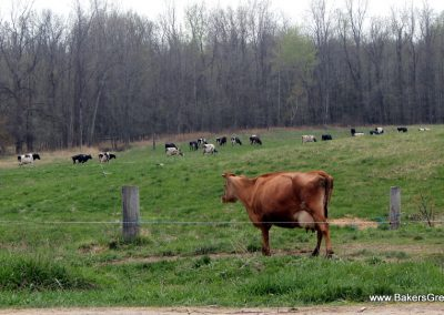 pastured dairy cow electric fence