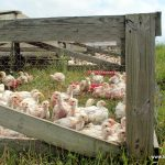 Pasture raised Non-GMO chickens enjoying fresh air and sunshine at Bakers Green Acres - We do more than just Mangalista Pigs
