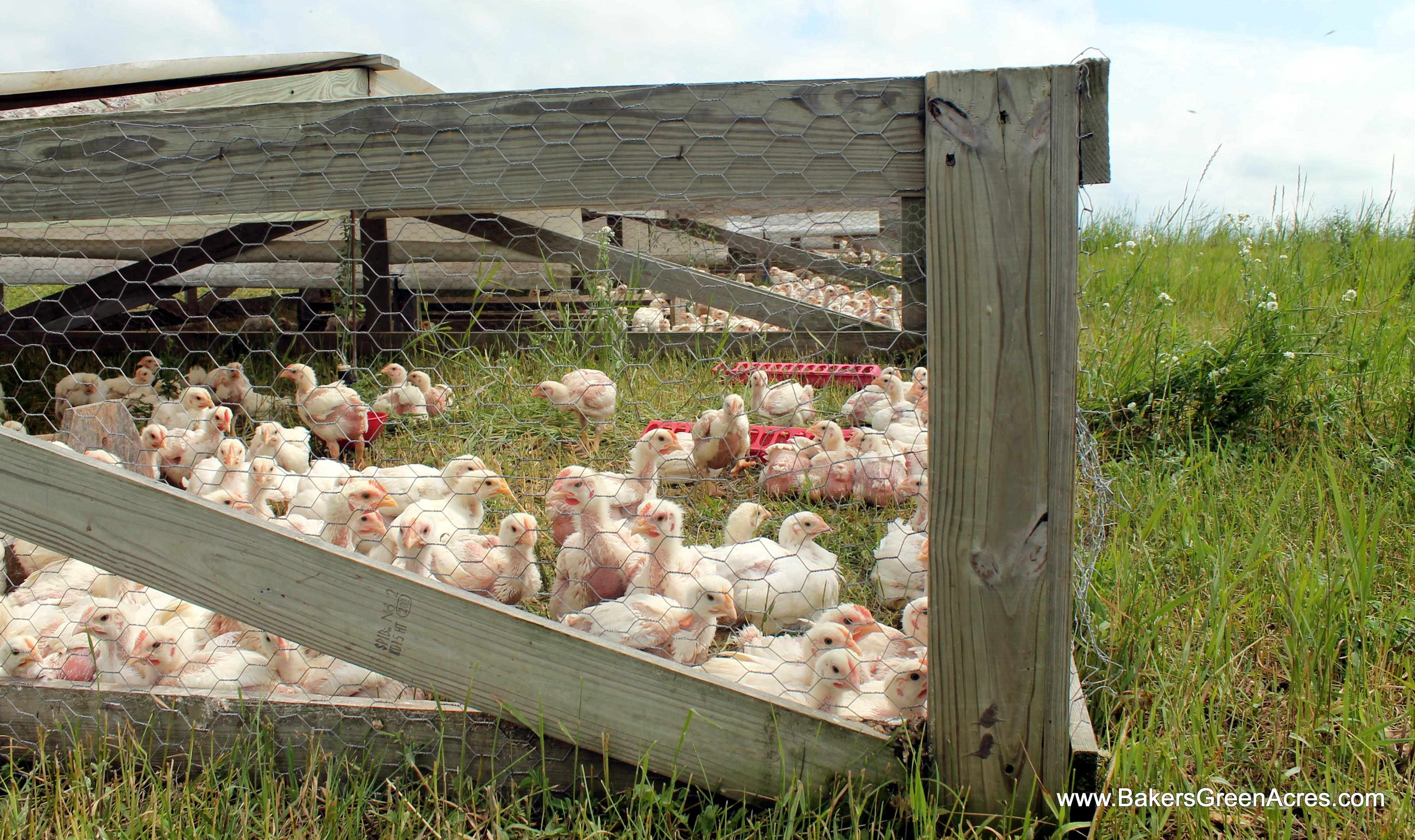 custom Pasture Raised Chicken -Non-GMO-Beyond Organic