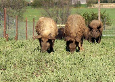 Homestead Mangalitsa hogs enjoying green grass and tilling a field.