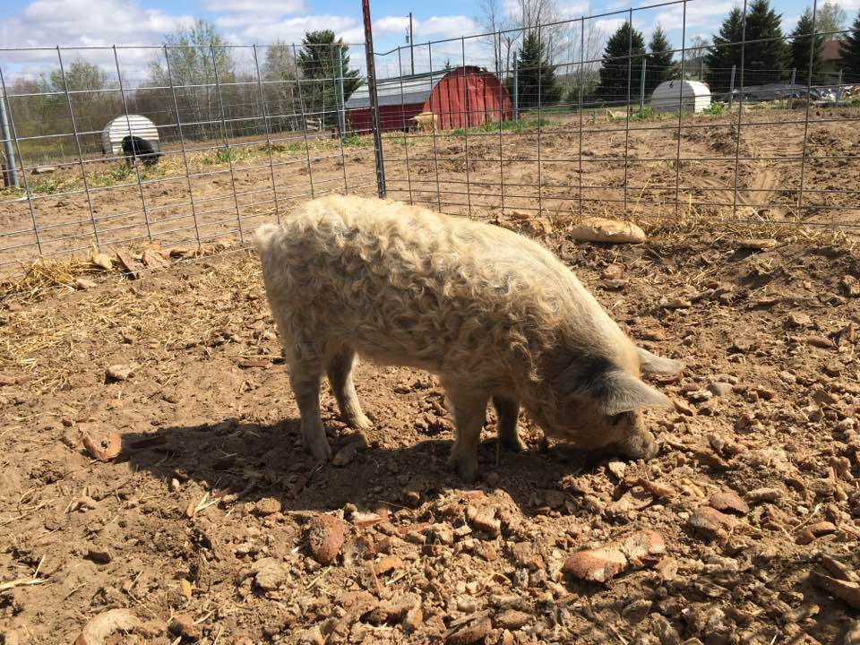Mangalitsa Gilt for sale pig for sale michigan
